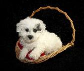 White Puppy With Dog Toy — Stockfoto