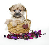 Sweet Morkie Puppy — Stock Photo