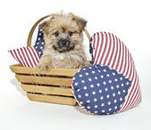 Forth of July Puppy — Stock Photo
