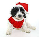 Black and White Christmas Puppy — Foto de Stock