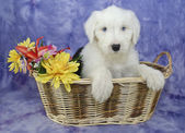 Old English Sheepdog Puppy — Stock Photo