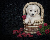 Little Buff Puppy — Stock Photo