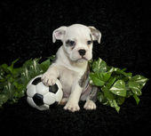 Bulldog Puppy — Stock Photo