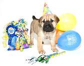 Födelsedag shar pei — Stockfoto