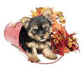 Yorkie Puppy — Stock Photo