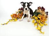 Boston terrier cachorro — Stockfoto