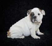 Bulldog pup — Stockfoto