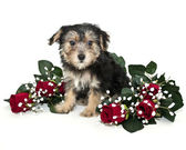 Morkie Puppy — Stock Photo