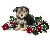 Morkie Puppy — Stock Photo