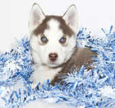 Christmas Husky Puppy — Stock Photo