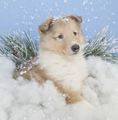 Winter Collie Puppie — Stock Photo