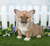 Corgi Puppy — ストック写真