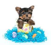 Cachorro yorkie de páscoa — Fotografia Stock