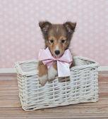 Sheltie Puppy — Stock Photo