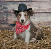 Cute Little Cowboy Puppy — Stock Photo
