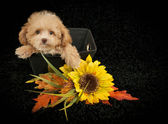 Sweet Poodle Puppy — Stock Photo