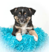 Cute Aussie Puppy — Stock Photo