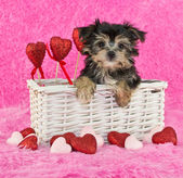Cute little Morkie Puppy — Stock Photo