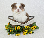 Sweet Aussie Puppy — Stock Photo