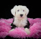 Sheepdog Puppy — Foto de Stock