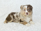 Aussie Puppy — Stock Photo