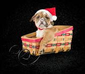 Noel köpek yavrusu — Stok fotoğraf