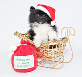 Christmas Pom Puppy — Stock Photo