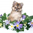 Sweet Pomeranian Puppy — Stock Photo #40263987