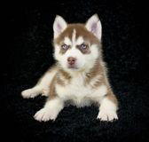 Red Husky Puppy — Stock Photo