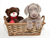 Weimaraner Puppy — Stock Photo