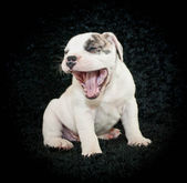 смеющийся щенок — Стоковое фото
