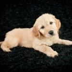 Golden- Doodle Puppy — Stock Photo