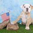 Marine Bulldog — Stock Photo #40905883