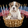 U.S.A. Puppy — Stock Photo