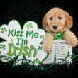 St Patrick's Day Puppy — Stock Photo