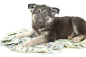 Buying a Puppy? — Stock Photo