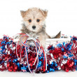 Red, White and Blue Puppy — Stock Photo #46665523