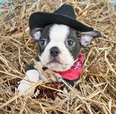 Kovboy köpek yavrusu — Stok fotoğraf