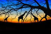 Group of giraffes over sunset — Stock Photo