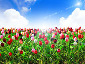 Colorful field of tulips and blue sky — Stock Photo