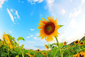 Slunečnice v poli s jasně modré obloze — Stock fotografie