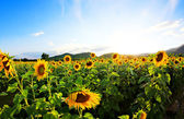 Sunflowers in the field with bright blue sky — Stock Photo