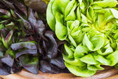 Green and red oak lettuce close up  — Stock Photo