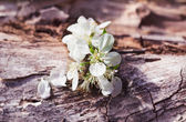 Cherry flowers on a wooden surface — Stock Photo