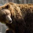 Kamchatka brown bear (Ursus arctos beringianus), Far Eastern bro — Stock Photo