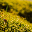 Beautiful ladybug sitting on fresh green moss — Stock Photo