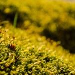 Beautiful ladybug sitting on fresh green moss — Stock Photo