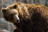 Kamchatka brown bear (Ursus arctos beringianus), Far Eastern bro — Foto de Stock