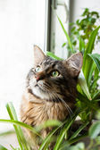 Kitty cat Maine Coon — Stock Photo