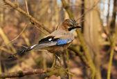 Jay ptak — Zdjęcie stockowe
